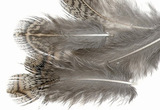 HARELINE Перья куропатки Hungarian Partridge Feathers NATURAL